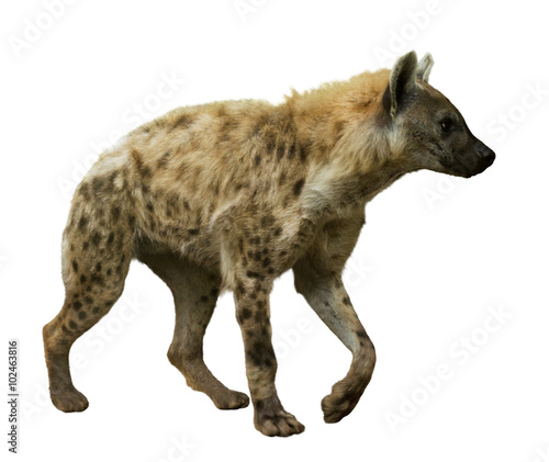 In de dag Hyena Spotted hyena on white