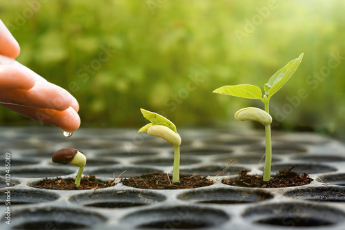 Garden Poster Roe Agriculture , Baby plants seeding - Farmer hand watering young baby bean plants seedling on over green background ,seed planting