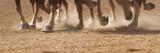Fototapeta Horses - Hoof Dust