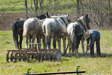 Amish Farmer With Work Horses