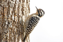 Female Ladder-backed Woodpecker At Big Morongo Canyon Preserve, California, USA