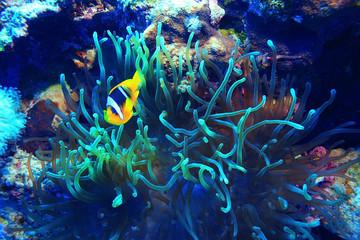 Fototapeta na wymiar anemone fish, clown fish, underwater photo