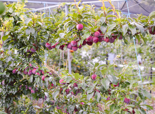 Espalier plum tree