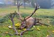 Caught dead deer as a hunting trophy Dead deer