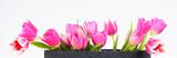Fototapeta Tulipany - tulpen in pink
