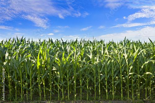 Fotografie, Obraz  Profil kukuřice plodiny v Jižní Dakotě