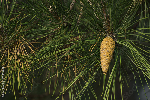 Fotografie, Obraz  Fir cones on a branch