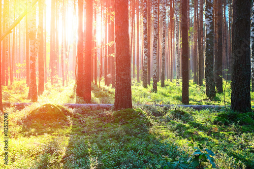 Garden Poster Natural Park Sunrise in pine forest