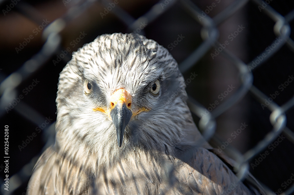 Photo  A red kite (Milvus milvus) staring through the wire fence