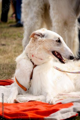 Photo  Portrait of beautiful russian wolfhound