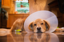 Golden Retriever Dog With A Cone Collar After A Trip To The Vete
