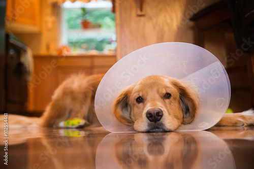 Stampa su Tela Golden Retriever dog with a cone collar after a trip to the vete
