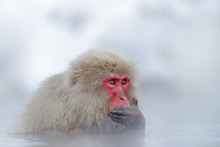 Japanese Macaque, Macaca Fusca...