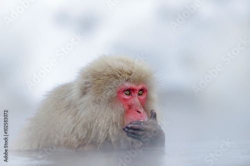 Japanese macaque, Macaca fuscata, in water