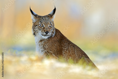 Eurasian Lynx, wild cat on snow meadow in winter