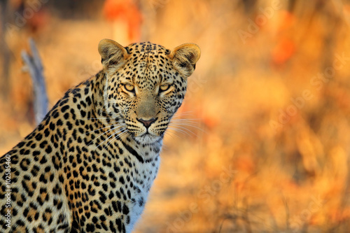 African Leopard, Panthera pardus shortidgei, Hwange National Park, Zimbabwe, portrait portrait eye to eye with nice orange backround