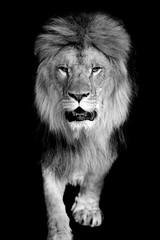 Fototapeta Lew Lion on dark background