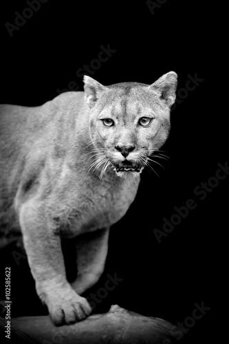 Puma on dark background