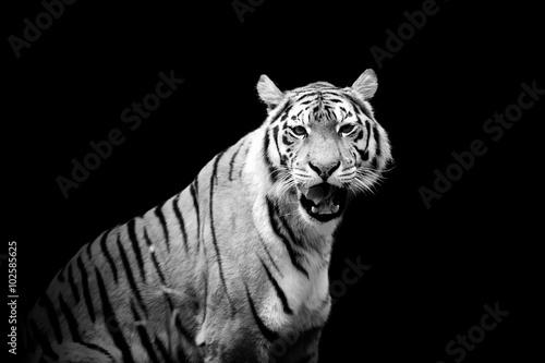 tygrys-na-ciemnym-tle