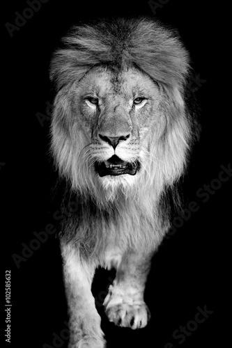 Staande foto Leeuw Lion on dark background