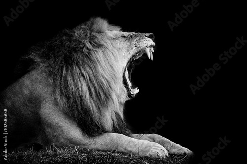 Photo sur Aluminium Lion Lion on dark background