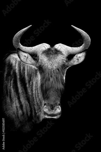 Photo  Wildebeest on dark background