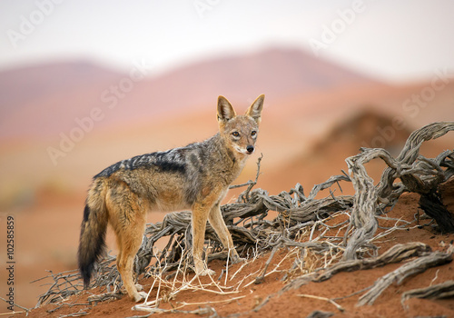 Fotografie, Obraz  Young jackal standing on red sand of Sossusvlei, with dune in background, Sossus
