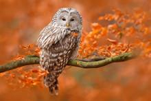 Ural Owl, Strix Uralensis, Sit...