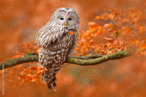 Photo Ural Owl, Strix uralensis, sitting on tree branch, at orange leaves oak forest,