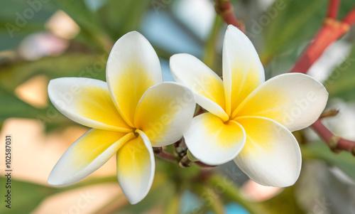 Deurstickers Frangipani White Plumeria or Frangipani Flowers