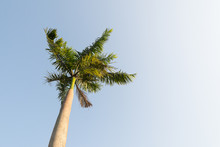 Foxtail Palm Tree In The Wind With Blue Sky Background