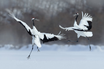 Fototapeta Japoński Dancing pair of Red-crowned crane with open wing in flight, with snow storm, Hokkaido, Japan
