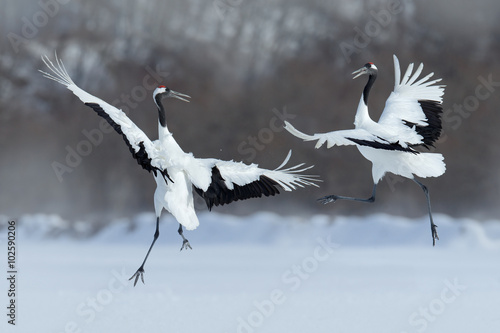 Photo  Dancing pair of Red-crowned crane with open wing in flight, with snow storm, Hok