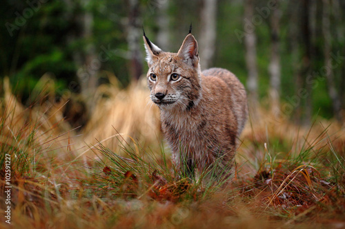 Poster Lynx Hunting Eurasian Lynx in green forest