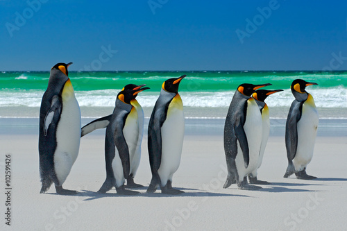Photo Group of King penguins, Aptenodytes patagonicus, going from white sand to sea, a