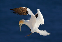 Northern Gannet, Flying Black And White Sea Bird With Dark Blue Sea Water In The Background, Helgoland Island, Germany
