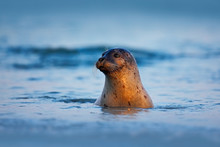 Atlantic Grey Seal, Halichoerus Grypus, Portrait In The Dark Blue Water Wit Morning Sun, Animal Swimming In The Ocean Waves, Helgoland Island, Germany