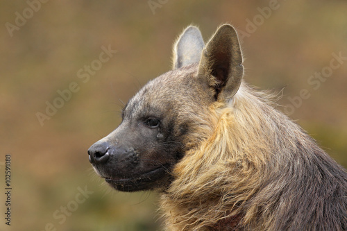 Aluminium Prints Hyena Portrait of Brown Hyena, Parahyaena brunnea