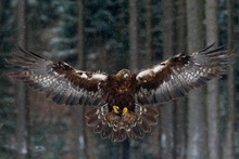 Flying Birds Of Prey Golden Eagle With Large Wingspan, Photo With Snow Flake During Winter, Dark Forest In Background