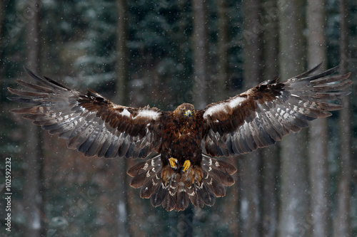 In de dag Eagle Flying birds of prey golden eagle with large wingspan, photo with snow flake during winter, dark forest in background