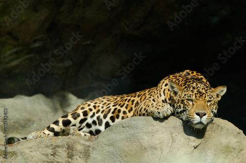 Tuinposter Luipaard Big spotted cat Sri Lankan leopard, Panthera pardus kotiya, lying on the stone in the rock, Yala national park, Sri Lanka