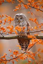 Grey Ural Owl, Strix Uralensis, Sitting On Tree Branch, At Orange Leaves Oak Autumn Forest