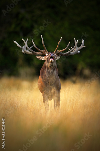 Bellow majestic powerful adult red deer stag in autumn forest, Dyrehave, Denmark Wall mural