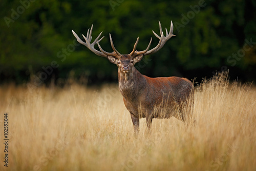 In de dag Hert Bellow majestic powerful adult red deer stag outside autumn forest, Dyrehave, Denmark