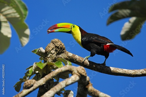 In de dag Toekan Bird with big bill Keel-billed Toucan, Ramphastos sulfuratus, with food in beak, in habitat with blue sky, Belize