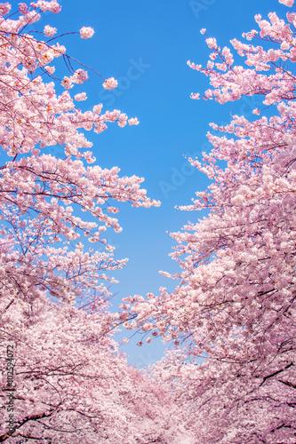 Tuinposter Lichtroze Kirschblüten vor blauem Himmel als Hintergrund im Hochformat