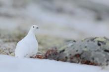 Rock Ptarmigan, Lagopus Mutus, White Bird Sitting On The Snow, Norway