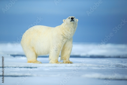 Foto op Aluminium Ijsbeer Polar bear, dangerous looking beast on the ice with snow in north Russia