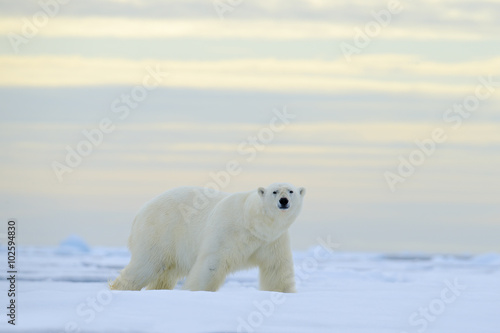 In de dag Ijsbeer Big polar bear on drift ice with snow, blurred nice yellow and blue sky in background, Svalbard, Norway