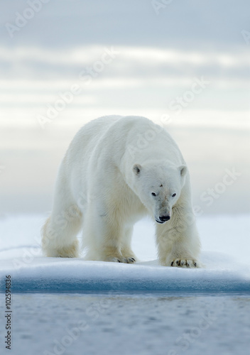 Poster Ijsbeer Big white polar bear, on drift ice with snow, Svalbard, Norway